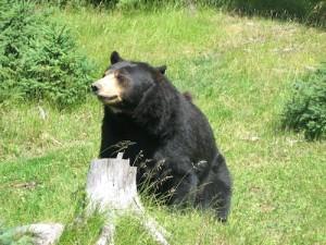 Que faire face à ours noir