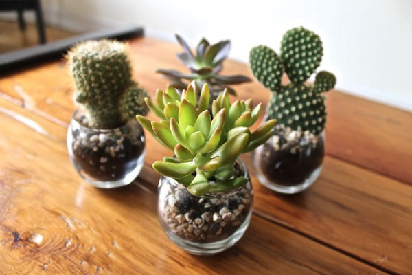 Les 4 cactus dans leur mini pot de verre pour lesquels j'ai craqué