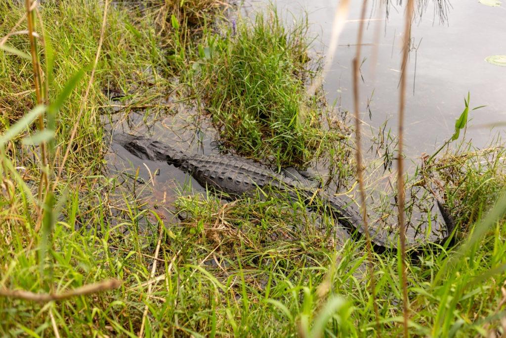 Alligator des Everglades - Royal Palm Trail